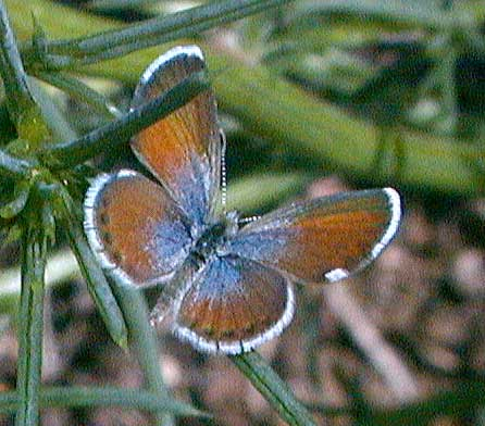 Western pygmy blue butterfly - photo#2